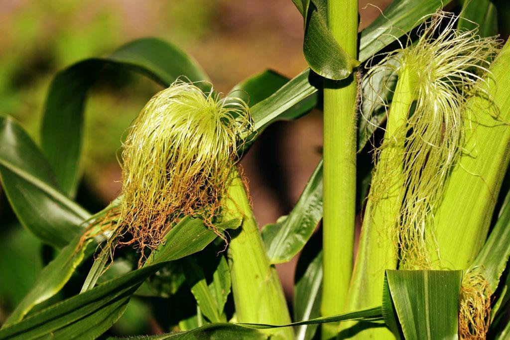 Kukurydza - pręciki, z których pozyskuje się skrobię
