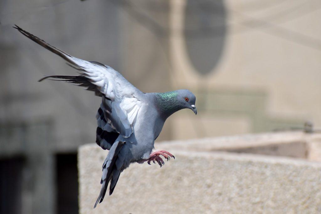 Gołębie na balkonie co zrobić?